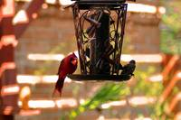 Male Cardinal and House Finch