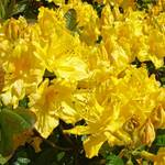"""Floral Art Prints Yellow Rhododendron Rhodies"" by BasleeTroutman"