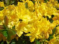 Floral Art Prints Yellow Rhododendron Rhodies