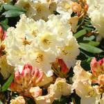 """""""Rhodie Garden Brilliant Sunlit Yellow Rhododendron"""" by BasleeTroutman"""