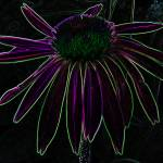 """Purple Neon Echinacea"" by PuddingStoneAlley"