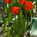 """Red Tulips"" by photocatphoto"