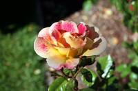 Pink & Yellow Rose