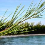 """Bahama pine needle"" by johnfrench"