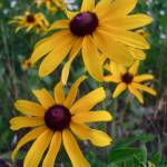 """Yellow coneflowers"" by NickDavidWright"