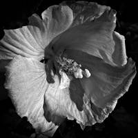 Rose Of Sharon lV