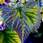"""Grape leaf"" by HBulger"