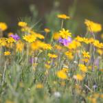 """Lazy daisies"" by HayleysMom1021"