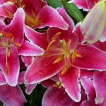 """Pink Lilies with Water Droplets"" by coribeth"