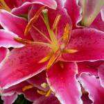 """Pink Lily with Water Droplets"" by coribeth"