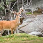 """American White Tail Deer - Blue Ridge Mountains Wi"" by DAPhoto"