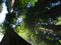 Redwoods-Redwood Natl Park, California
