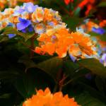 """Orange and Purple Flowers"" by Popophoto"