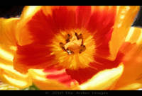 Yellow and Orange Tulip Middle