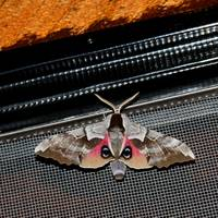 Nature's Disguise - Eyed Sphinx Moth 3348