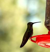 Magnificent Hummingbird 3108