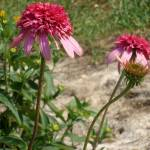 """3 Stages of Echinacea Razzmatazz"" by PuddingStoneAlley"