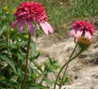 3 Stages of Echinacea Razzmatazz