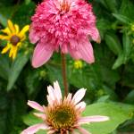 """Echinacea Growing Stages"" by PuddingStoneAlley"