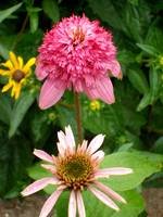 Echinacea Growing Stages