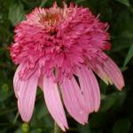 """Wet Echinacea Razzmatazz"" by PuddingStoneAlley"