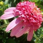 """Echinacea Razzmatazz"" by PuddingStoneAlley"