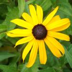 """Single Blackeyed Susan"" by PuddingStoneAlley"