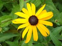 Single Blackeyed Susan