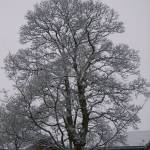 """Snow clad sycamore"" by Wildcam"