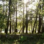 """sun in trees Kinross"" by Wildcam"