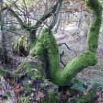 """""""Twisted Mossy Tree Portmoak"""" by Wildcam"""