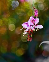 Gaura with Bokeh Background