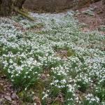 """""""Snowdrop Valley - R. Devon"""" by Wildcam"""