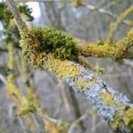 """""""Lichens on elder"""" by Wildcam"""