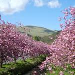 """Cherry Blossom Dollar burn"" by Wildcam"
