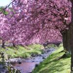 """more cherry blossom Dollar"" by Wildcam"