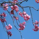 """sprigs of Cherry blossom"" by Wildcam"