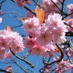 """""""cherry blossom closer"""" by Wildcam"""