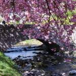 """Cherry Blossom Bridge Dollar"" by Wildcam"