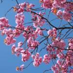"""more sprigs of cherry blossom"" by Wildcam"