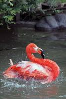 Flamingo in the Water