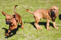 Baby Bloodhounds