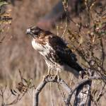 """""""Hawk on the Prowl"""" by DonBakerPhotography"""