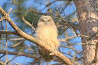 Great Horned Owl_6