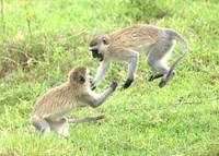 Monkey ambush- Africa safari