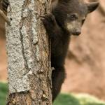 """Baby Bear Cub - Williams, Arizona"" by LBrummPhotography"