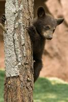 Baby Bear Cub - Williams, Arizona