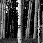 """Aspens - Flagstaff Arizona"" by LBrummPhotography"