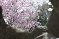 Cherry Blossoms - 2010