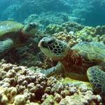 """Green Sea Turtles"" by MKJimages"